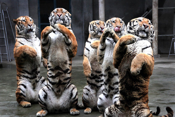 Siberian Tigers Quot Starved To Death Quot In Chinese Zoo Csmonitor Com