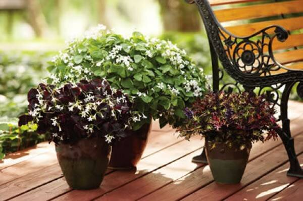Oxalis a great plant indoors and out - Shamrock indoor plant ...
