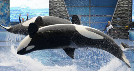 Is a killer whale a moral being?