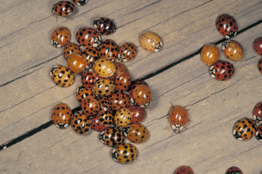 Ladybug Invasion Csmonitor Com