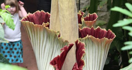 Giant, stinky 'corpse flower' (titan arum) to bloom this week