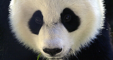 How does a panda fake being pregnant?