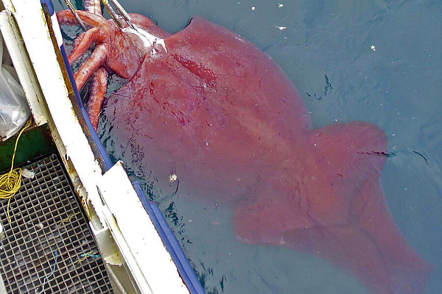 School-bus sized squid actually quite friendly, study finds ...