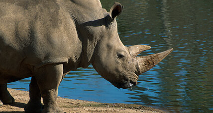 Huge rhinoceros escapes from cage at Florida zoo