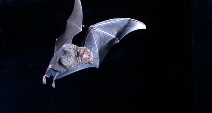Robots with night vision? Scientists work with fruit bats for better robo-vision