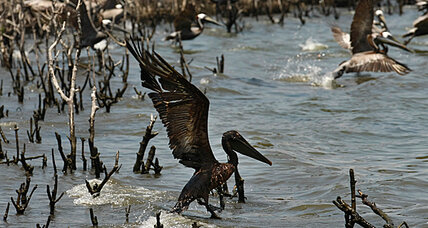 BP oil spill: how Gulf's sensitive and endangered species are faring