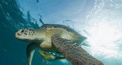 Sea turtles followed to learn how to protect endangered species