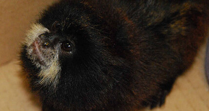 Titi monkeys: Man caught smuggling 18 monkeys in his clothes