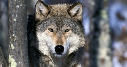 Gray wolf comeback worries Midwest
