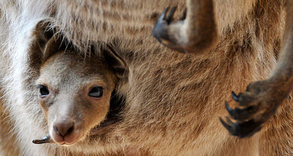 Marsupials originated in South America, study suggests