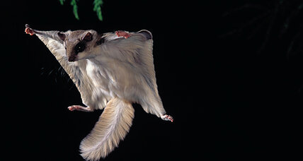 Monkeys hate flying squirrels, report monkey-annoyance experts