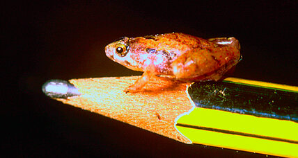 Pea-sized frog discovered in Borneo