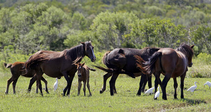 Wild horses in North Carolina face uncertain future