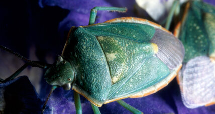 Stink bugs expected to invade W.Va. homes this fall