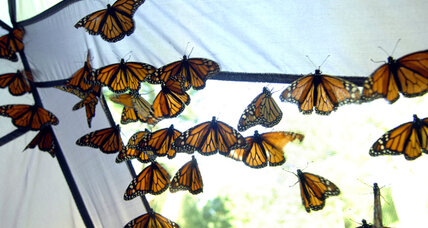 Monarch butterflies migration headed towards Mexico