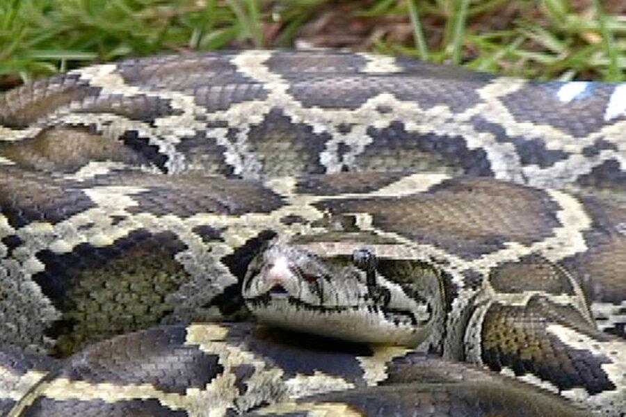 Will Florida S Burmese Pythons Move North How Far Csmonitor Com