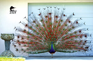 A Peacock Flaunts Its Plumage In A Neighborhood In Clearwater, Florida.