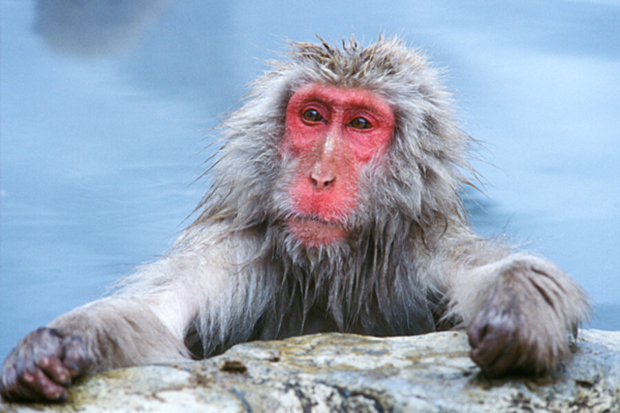 Japanese Macaque - CSMonitor.com - photo#13