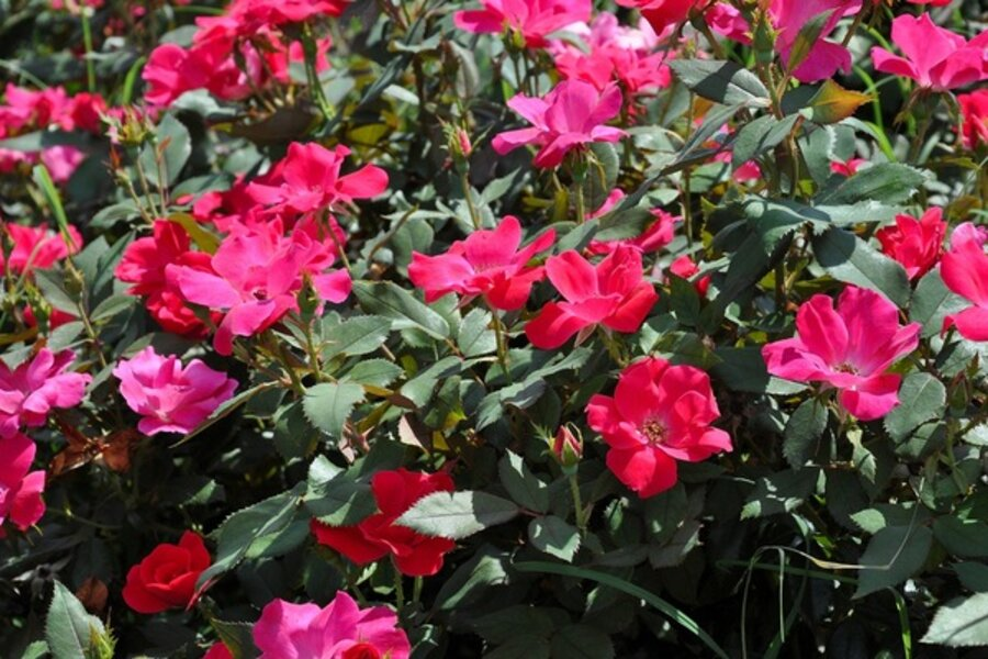 How To Grow Roses From Seed Csmonitor Com