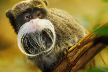 csmarchives/2010/12/1203-monkeys-emperor-tamarin.jpg