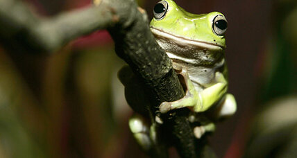 Frogs pee out foreign objects stuck in their skin