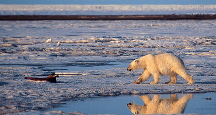 Polar bear 'doomed'? Only if greenhouse-gas emissions aren't cut.