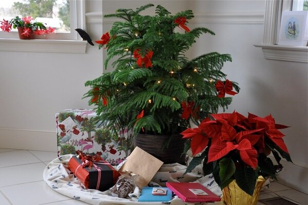 No Room For A Christmas Tree? Try A Norfolk Island Pine