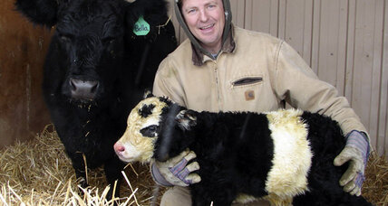 Panda cow with rare markings born on farm in northern Colo.