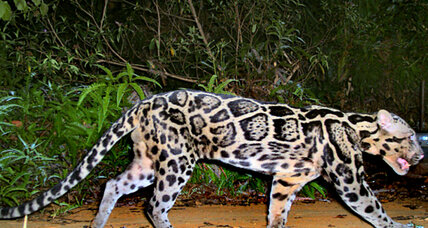 That new species of big cat? Turns out it's actually two new species.