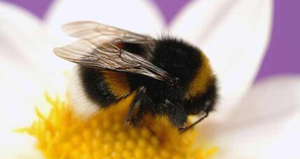 What's killing bumble bees? Some species' numbers down 96 percent.