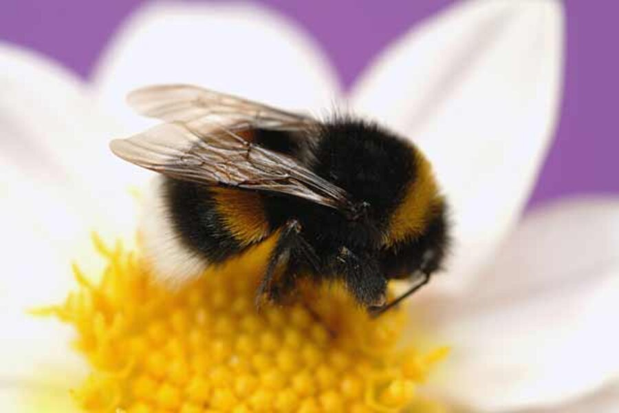 What's killing bumble bees? Some species' numbers down 96 ...