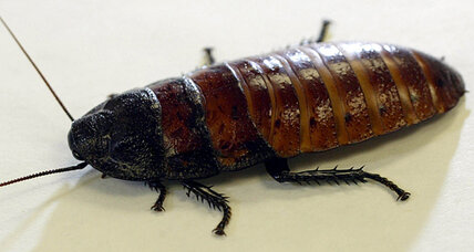 On Valentine's Day, express your love with a giant hissing cockroach