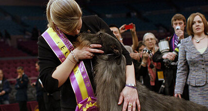 Scottish deerhound wins Westminster Dog Show 2011