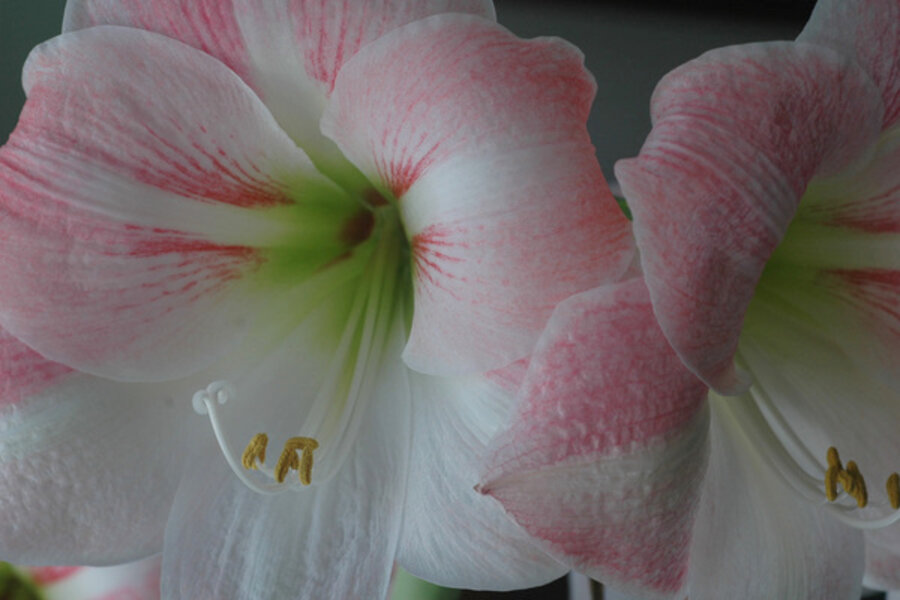 Amaryllis bulbs bigger is better for Bulbes amaryllis conservation