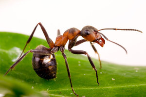 Zombie ants: How a fungus takes control of carpenter ants ...