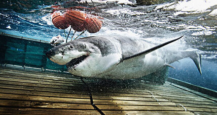 Great white shark population lower than previously believed