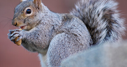 Angry squirrel terrorizes Vermont town