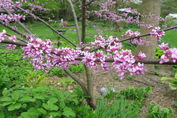 Growing redbud trees and forcing redbud branches into bloom redbud trees are a colorful sign of spring and theyre easy to grow heres how to to force their branches into bloom indoors weeks before they flower mightylinksfo