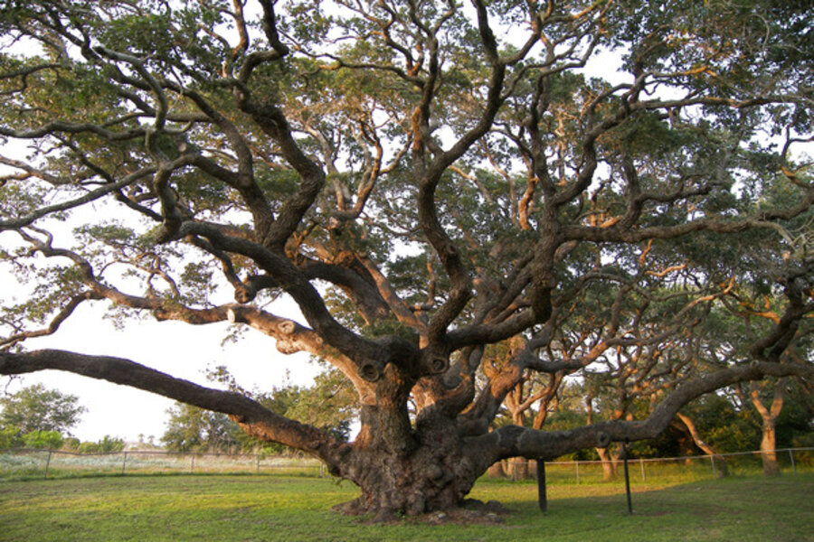 The Auburn Oaks And Oaks In Your Yard Csmonitor Com