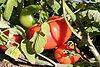 How to grow and prepare tomatoes