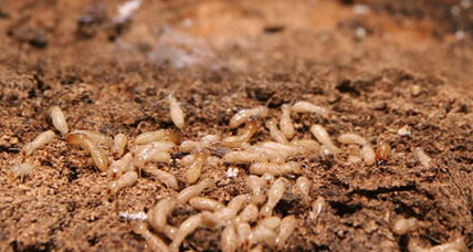 Termites eat millions at a bank in India