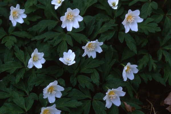 Wood anemones are delightful shade plants for spring csmonitor the most common wood anemones anemone nemorosa spp have small white blooms with yellow centers theyre among the first flowers to bloom in spring in the mightylinksfo Gallery
