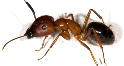 Zombie ants: How fungus can turn an insect into a puppet