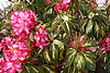 Variegated rhododendrons: A 'wow' factor in the landscape