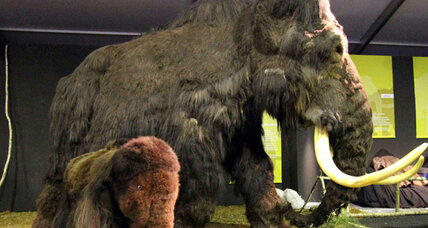 Woolly mammoth may have interbred with elephants