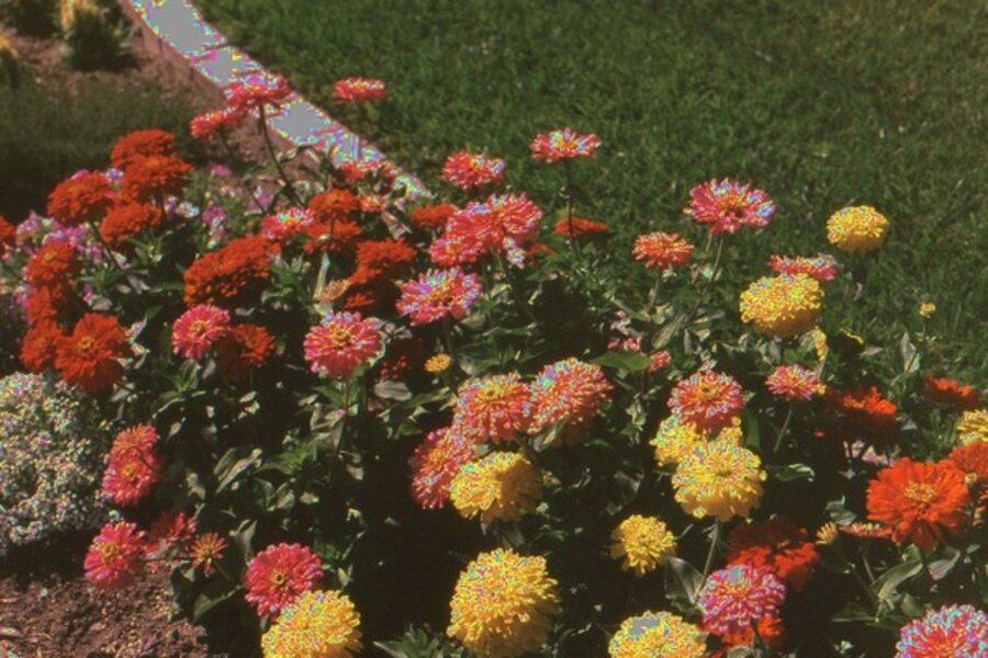 Grow Your Own Cut Flowers In Southern California Csmonitor Com