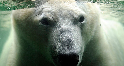 Polar bear origins: Polar bears have Irish ancestry, suggests DNA study