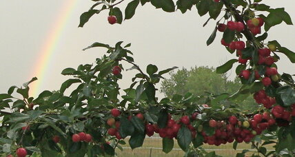 Growing cherries on the Colorado Front Range