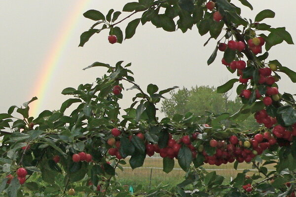 growing cherries on the colorado front range  csmonitor, Natural flower