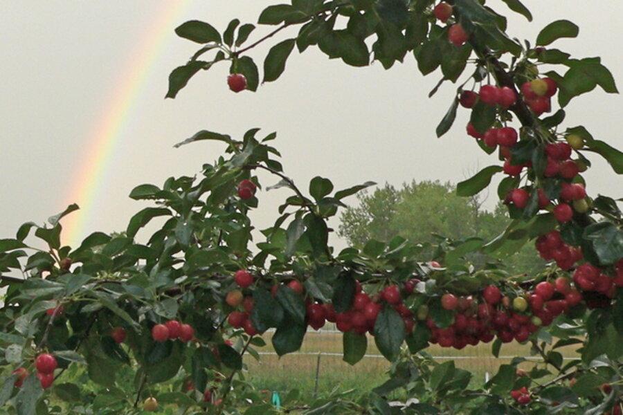 Growing Cherries On The Colorado Front Range